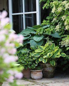 Hosta and Hortensia 'little limelight'. #hosta #hortensia #containergarden #potgarden #mygarden #summer #flowers #instagood #instagram #garden #flowersofinstagram #krullskrukker