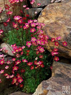 Fill in tight spots between rocks with flowering plants to add a dash of color and give the rock garden a finished look. Saxifraga is an easy-to-grow crevice-dweller that grows naturally in mountain regions; here, its cheerful pink blooms complement the warm tones of the surrounding boulders./