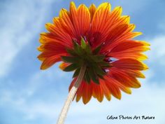 """Poster """"Soleil de fleur"""" 75x50cm d'une photo artistique d'une fleur de Gaillarde. : Photos par celinephotosartnature Celine, Nature, Ciel, Dimensions, Plants, Photos, Posters, Etsy, Fine Art Photo"""