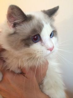 "Check out Little Guy ""Lg""'s profile on AllPaws.com and help him get adopted! Little Guy ""Lg"" is an adorable Cat that needs a new home. https://www.allpaws.com/adopt-a-cat/ragdoll/996696?social_ref=pinterest"