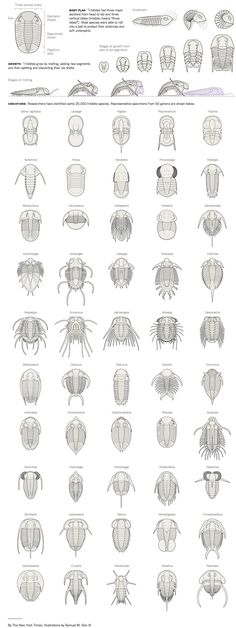 Arthropoda, Subfilo Trilobitomorpha. Os trilobitas são um Subfilo extinto de atrópodes, o grupo teve a sua origem no início do período Cambriano e foi extinto na grande extinção no final do período Permiano (extinção permo-triassica). O Subfilo Trilobitomorpha é relativamente próximo ao Subfilo Cheliceriformes (e possivelmente do Subfilo Crustacea).