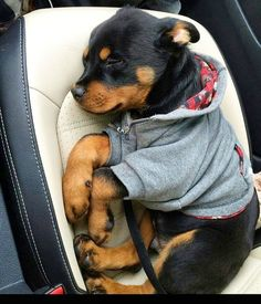 Rottweiler - Tap the pin for the most adorable pawtastic fur baby apparel! You'll love the dog clothes and cat clothes! <3