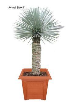 Medium Beaked Yucca - Yucca rostrata (Web)