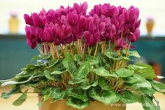 A beautiful example of Cyclamen persicum. This plant was awarded first prize in its class. Container Plants, Container Gardening, Woodland Garden, Mauve Color, Different Flowers, Colorful Garden, Allotment, Early Spring, Shades Of Purple