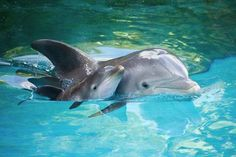 Cute dolphin baby with momma