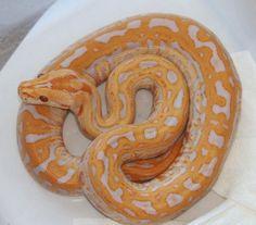 Rare Ball Pythons   ... granite burmese python female 250 reticulated pythons tigers het