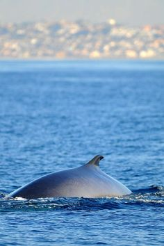 Fin whale off the coast of Redondo Beach, from the Daily Breeze
