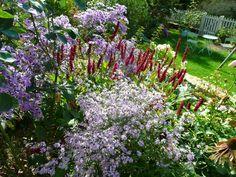 Aster little carlow, ideal et persicaria blackfield