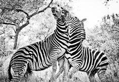 Zebra Fighting. Just of fun.