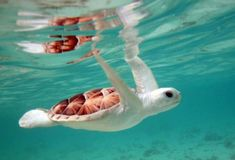 Cute albino turtle swimming in the ocean Baby Sea Turtles, Cute Turtles, Cute Baby Animals, Animals And Pets, Funny Animals, Beautiful Creatures, Animals Beautiful, Majestic Animals, He's Beautiful