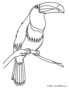 Toco Toucan Coloring Page Nice Bird Sheet More Original Content On Hellokids