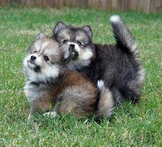 Cute Pomsky Puppies Pomsky Puppies, Northern California, Acacia, Husky, Cute, Dogs, Animals, Animais, Animales