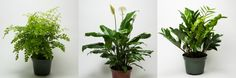 http://www.sandiegohomegarden.com/Popular-Houseplants/  #houseplants