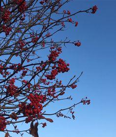 Beautiful berries. #flores #flori #tree #trees #treestagram #berries #berry #redberries #treeporn #treeportrait #treepose #instatree #sky #skyporn #skyblue #skylovers