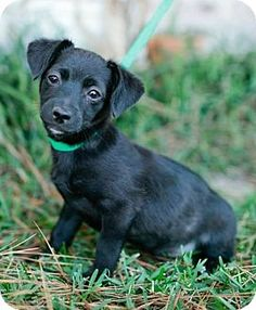 Providence, RI - Maltese/Chihuahua Mix. Meet Cooper CG $599 a Puppy for Adoption.
