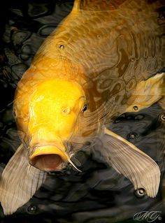 "Koi fish are the domesticated variety of common carp. Actually, the word ""koi"" comes from the Japanese word that means ""carp"". Outdoor koi ponds are relaxing. Koi Fish Pond, Fish Ponds, Koi Art, Fish Art, Pez Koi Real, Cosplay Steampunk, Carpe, Japanese Koi, Beautiful Fish"