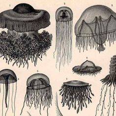 1894 jellyfish medusa ocean scene original antique black and white sea life print. $25.00, via Etsy.