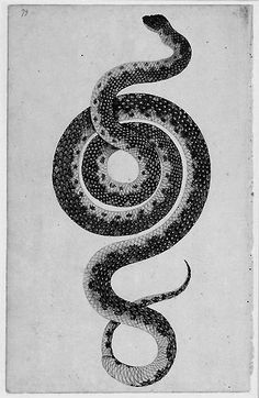 "thefirstpaganking: "" Illustration of a Diamond Python, Morelia spilota spilota, by an unknown artist associated with Port Jackson Painter. "" In almost every culture, the snake or serpent has been. Snake Art, Year Of The Snake, Little Buddha, Snake Tattoo, Nature Images, Watercolor And Ink, Natural History, Dragons, Illustration Art"