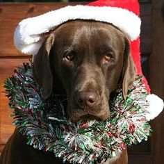 Chocolate Labrador Retriever Merry Christmas Card Labs Puppy Holiday Dogs Santa Claus Dog Puppies