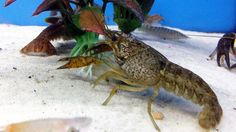 Aquarium Crayfish: Think About A Species Tank