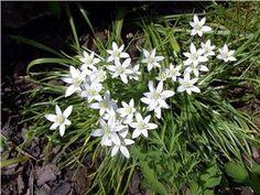 Morgonstjärna Arten är en flerårig Ört med bladlös stjälk och lök. Bladen är gröna, cirka 5 mm breda och utgår direkt från löken. Blommorna sitter i en kvastlik klase med mer eller mindre utstående skaft. Blomorna blir cirka 3-4 cm breda och är endast utslagna i soligt väder. Frukten är en sexkantig, omvänt kägellik kapsel Arten blommar i maj-juni i Sverige.
