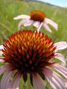 Wild Echinacea by TheSnailsRoad on Etsy
