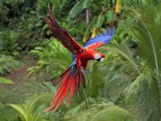 The true splendor of the Scarlet Macaw can be seen in flight and as it comes in for a landing.