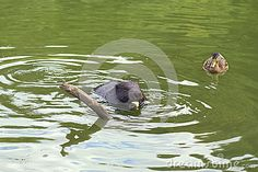 Beaver and duck #beaver #duck #eat #apple  #nature #river