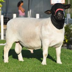 dorper sheep - Recherche Google