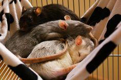 rats <3 hammocks