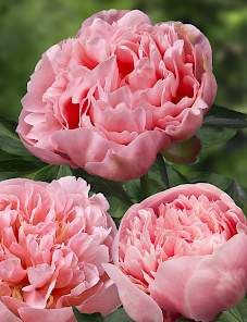 Peony ETCHED SALMON: One of the most perfectly shaped double peony. Flowers are beautiful salmon - pink colored. Flower is nice smelling. Blooms with large flowers with perfect symmetry. Peonies And Hydrangeas, Peonies Garden, Pink Peonies, Pink Garden, Beautiful Roses, Beautiful Gardens, Pink Flowers, Beautiful Flowers, Peony Flower