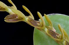 Pleurothallis lanceana? - Flickr - Photo Sharing!