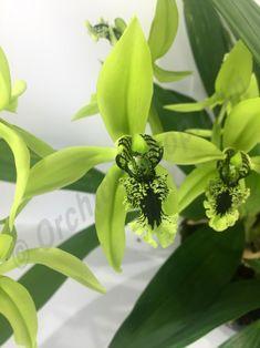 "Exclusive range Coelogyne pandurata ""Big XXL"" at Claessen Orchids. Orchids, Plants, Plant, Planets, Orchid"