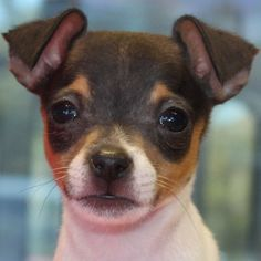 """I'd be in major trouble if this were a recent post!"" Toy Fox Terrier Puppy for Sale in South Florida Toy Fox Terrier Puppies, Dachshund Puppies For Sale, Dogs And Puppies, Rat Terriers, Terrier Mix, Doggies, Pet Fox For Sale, Beautiful Dogs, Animals Beautiful"