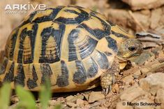A European tortoise, Hermann's tortoise (Testudo hermanni) has a distinctly coloured, yellow-orange, domed shell, with bold black markings. The head is brown or black, sometimes with a...