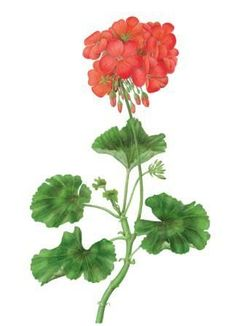 How to Draw and Paint a Pelargonium in Watercolour
