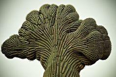 fasciated saguaro cactus.