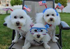God Bless America! Land Bichons Love!