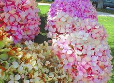 Hortensias en tonos rosas