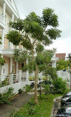 Bán Cây Chuông Vàng, Cây Công trình, Cây Đô thị, Cây Sân vườn