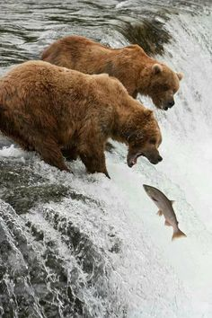 Bears catching salmon that are swimming upstream to spawn