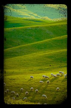 Flock of sheep and lambs on hills of Tuscany Italy by robertcrum