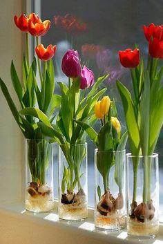 Binnen tulpen. Plaats knikkers of decoratieve stenen in een vaas en plaats er een tulpenbol op. Voeg water toe maar tot een stukje onder de bol. Voeg extra knikkers toe toe ter versteviging.