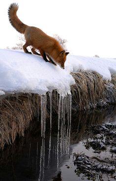 Fox on riverbank