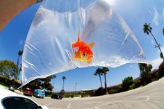 I am currently loving goldfish...why? I don't know :)