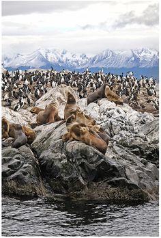 Patagonia Argentina. Colonia de pingüinos.