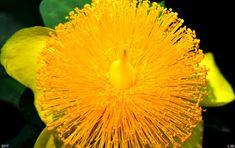 Golden Guinea 3 Photograph by Lisa Wooten