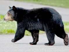 Himalayan Black Bear Sanctuaries in Sikkim, India @ Sanctuariesindia.com