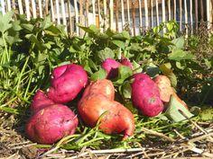 Réussir la culture de la Patate douce en France | Blog Jardin Alsagarden - le magazine des jardiniers curieux