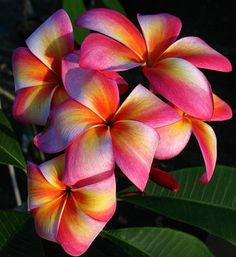 Plumeria ~ looks like the streaks in a gorgeous early morning sunrise in Florida :)